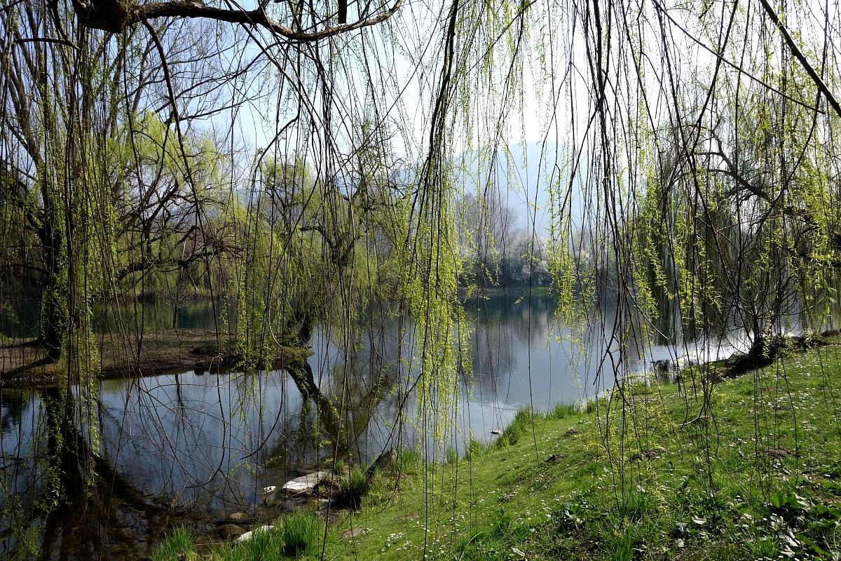 Salice piangente lungo il fiume...