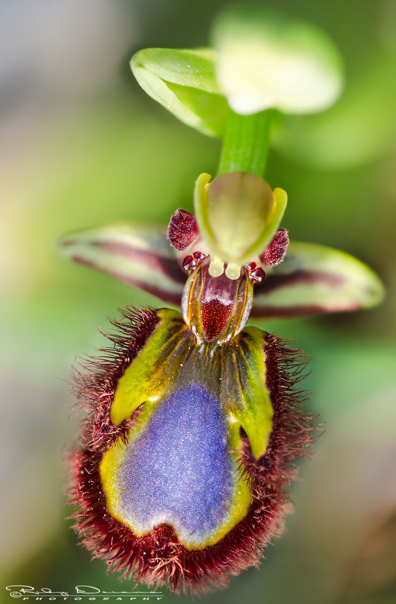 Ophrys speculum...