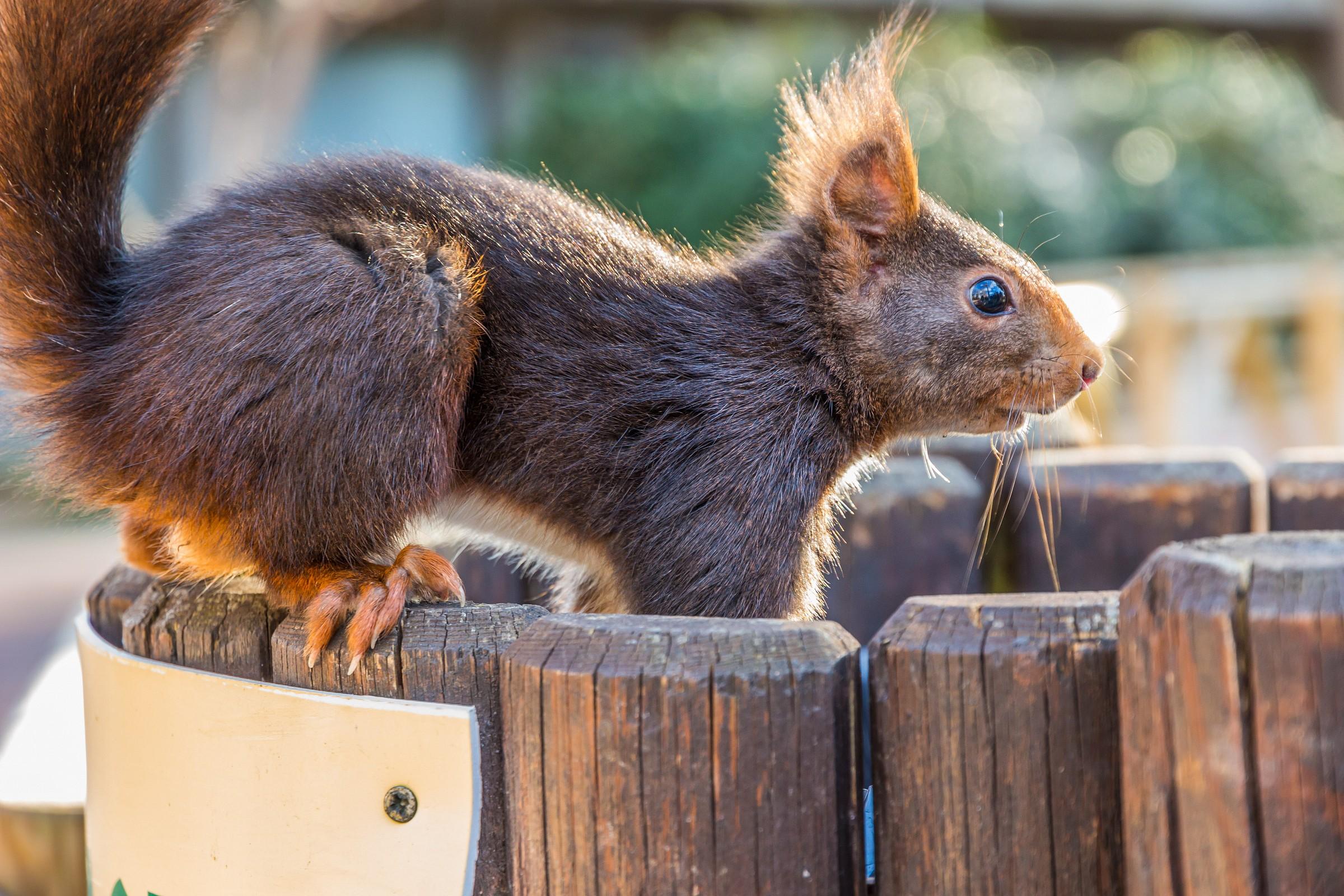 Casa de Campo - Zoo - Squirrel 2...