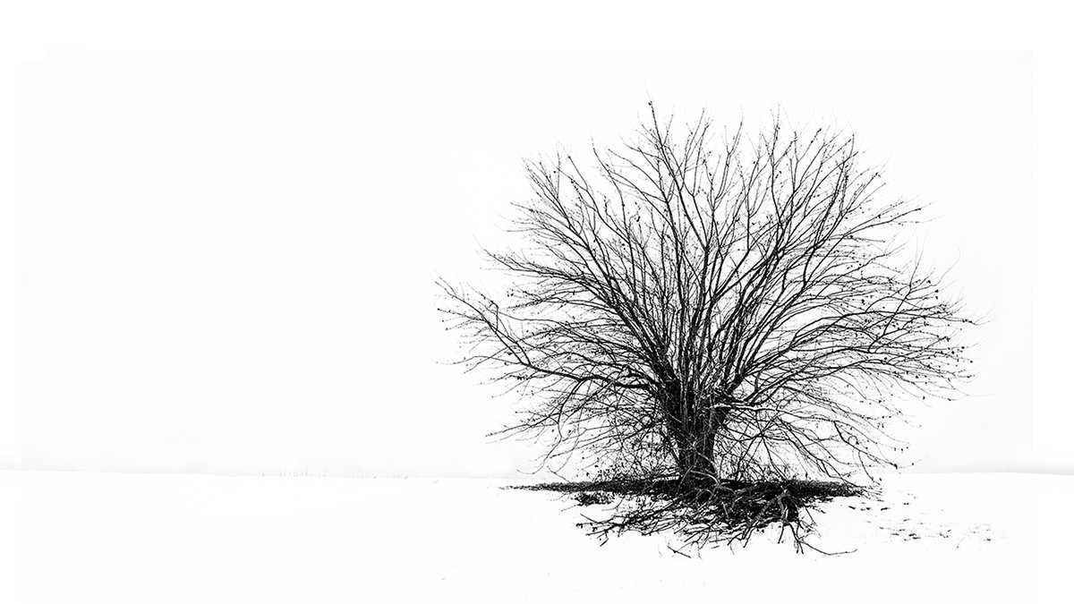 In the large white only the tree lives...