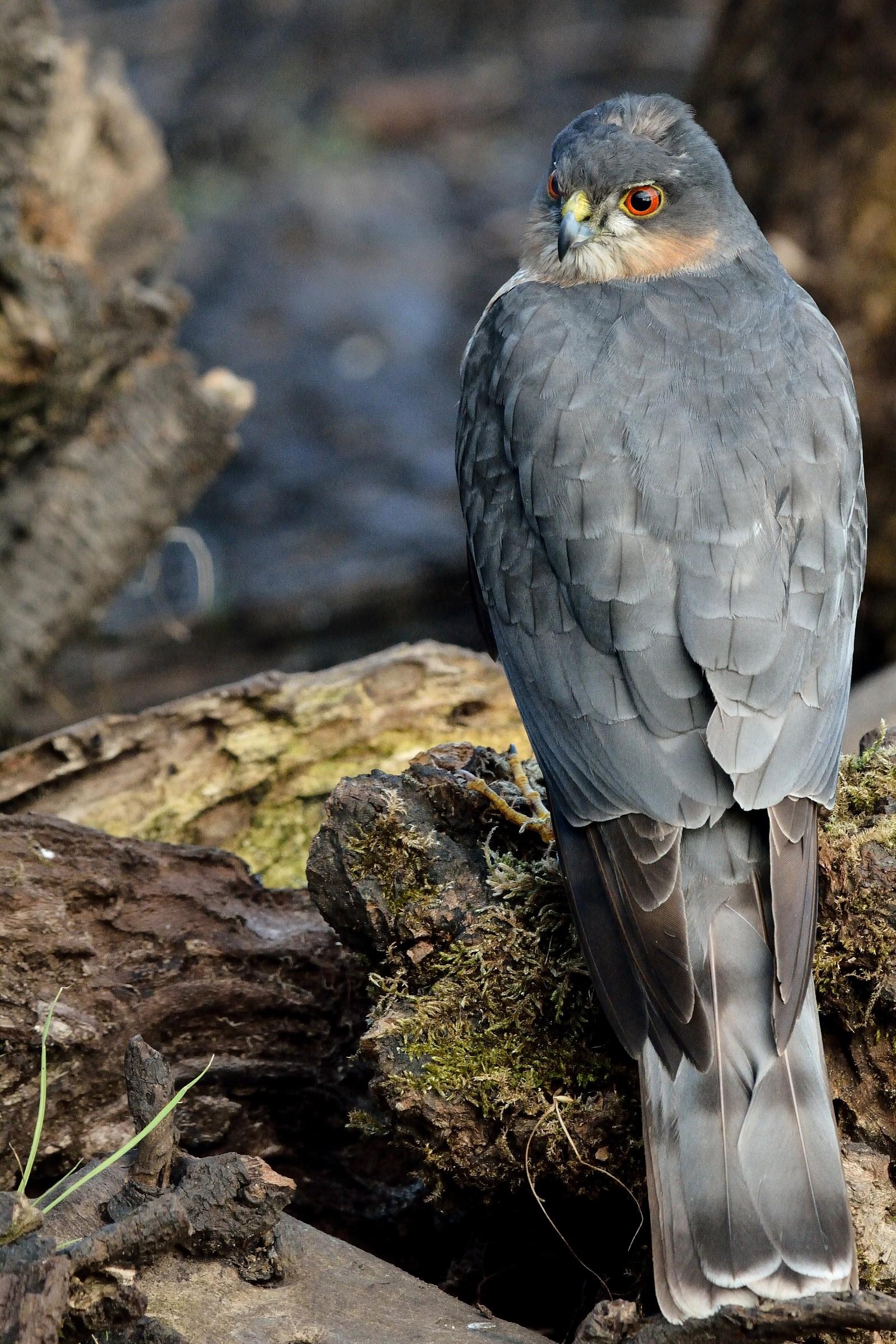 Portrait of male Sparrowhawk...