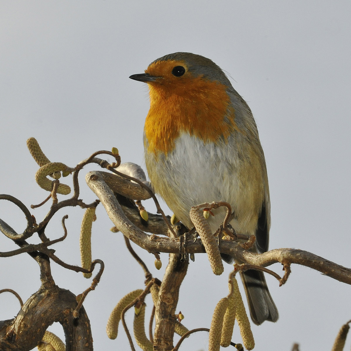 robin on the core...