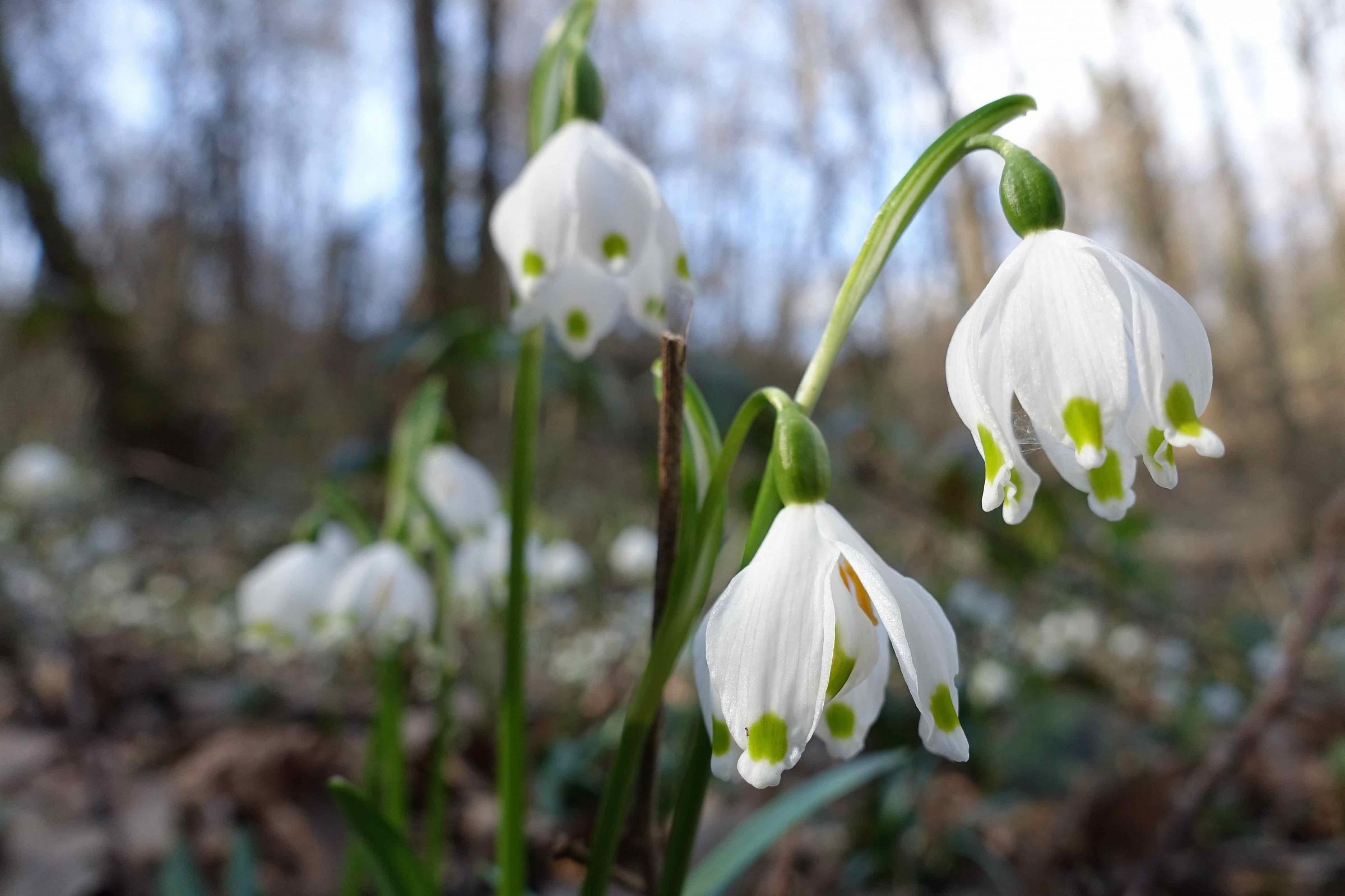 Campanellini di primavera nel sottobosco...