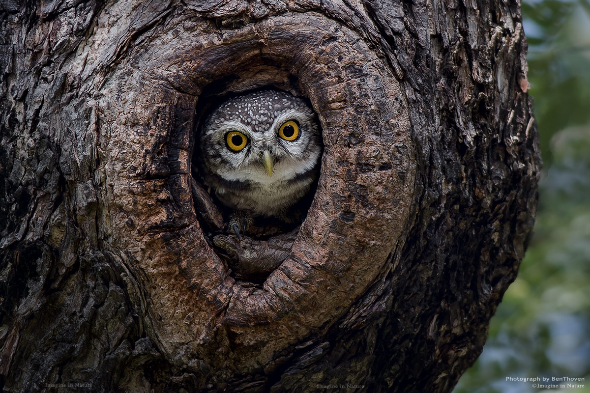 Look at me : Spotted owlet...