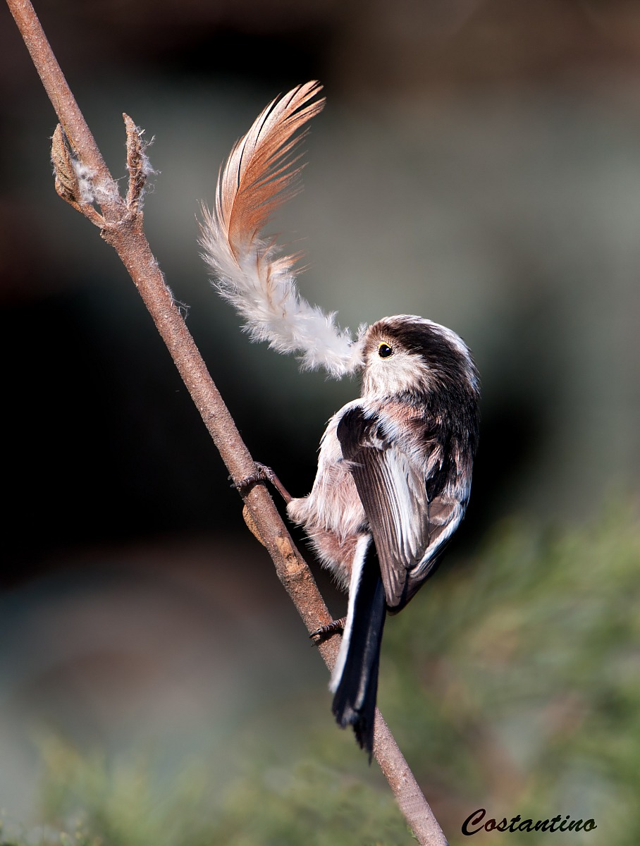 Long-tailed Tit (Aegithalos caudatus)...