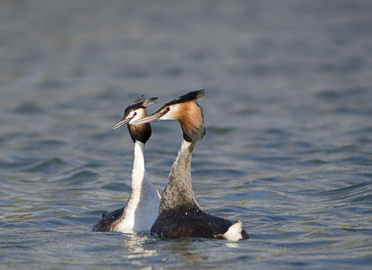 Copying Grebes...