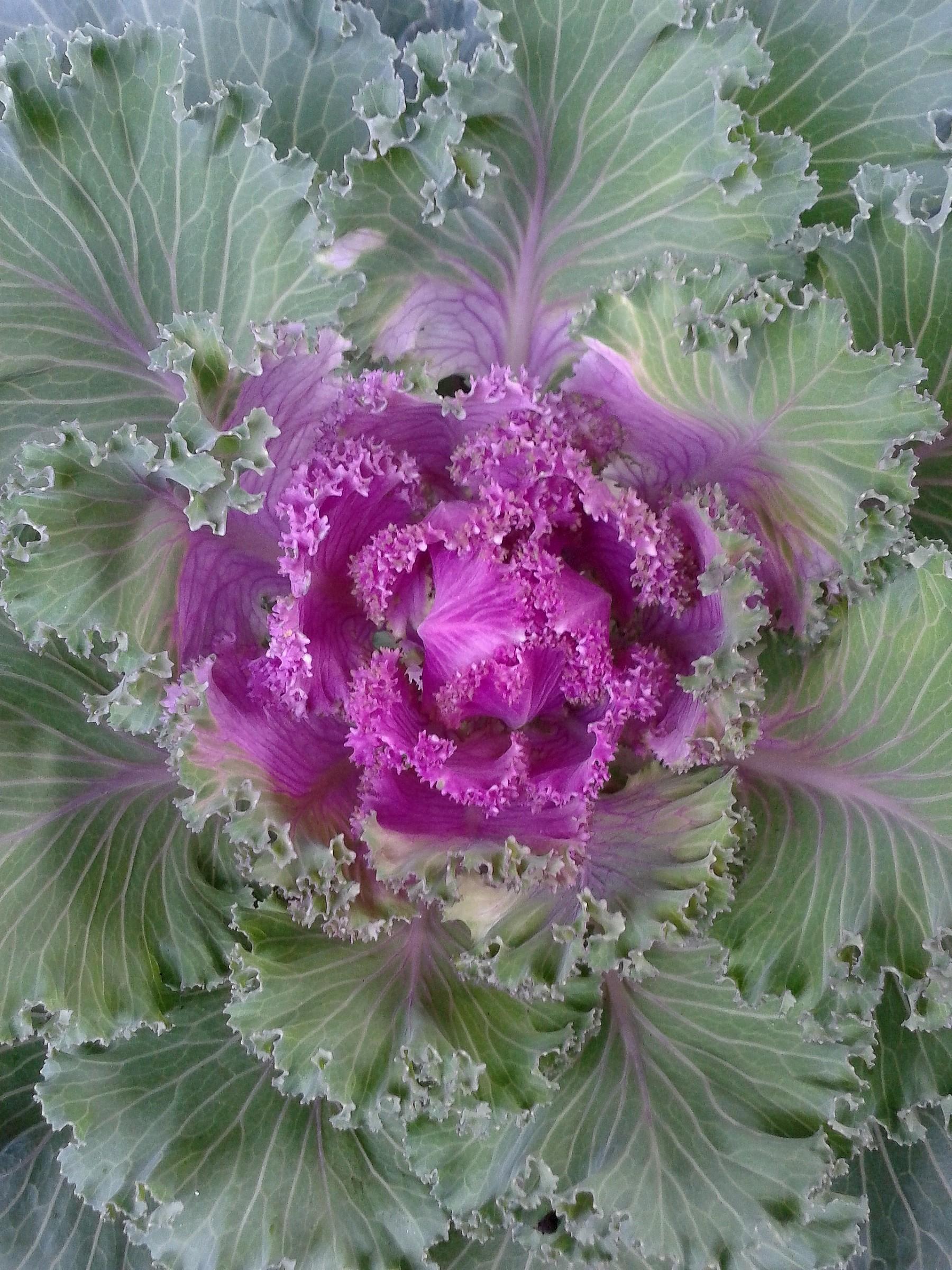 Cavolo ornamentale Brassica Oleracea...