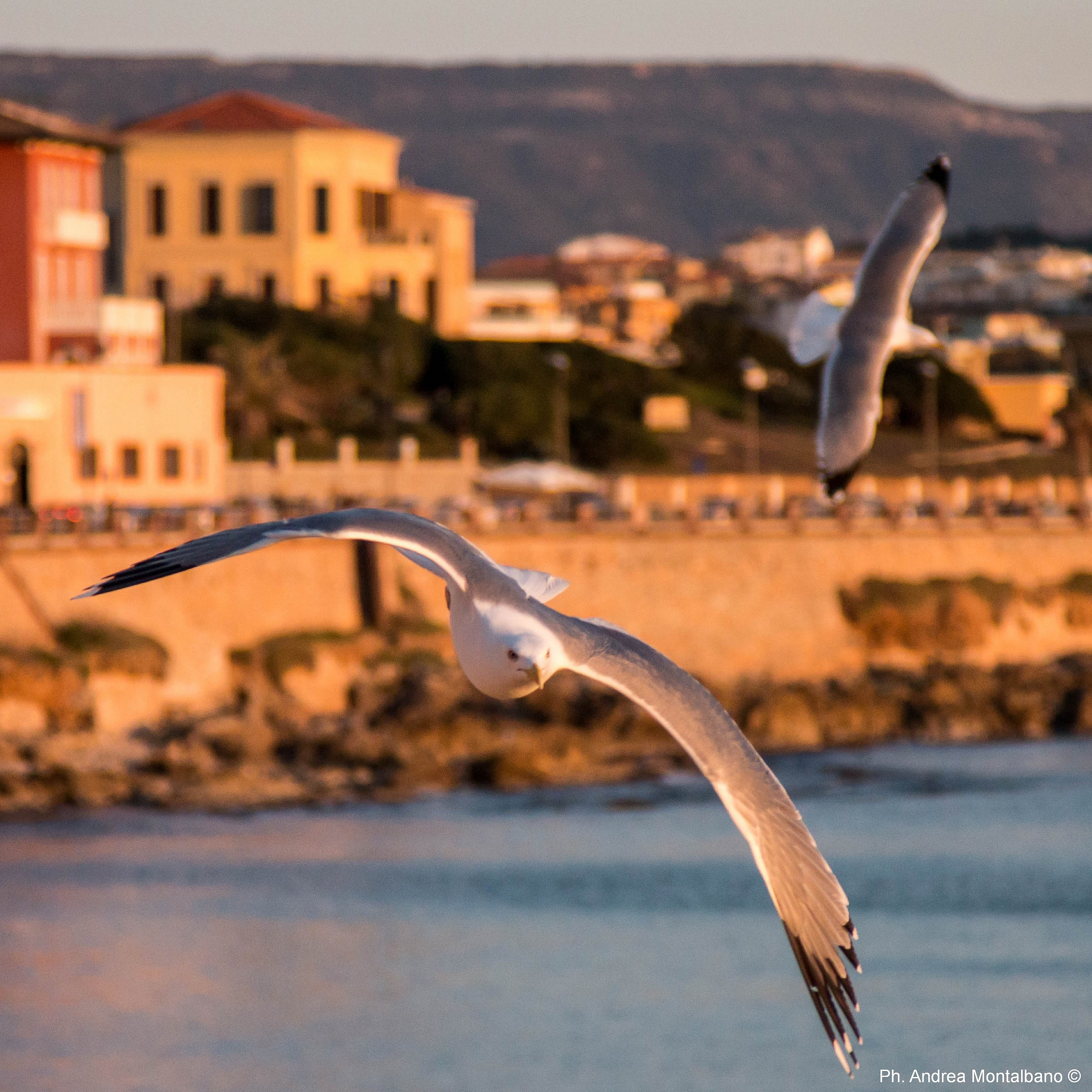 the gull of the wall of Alghero...