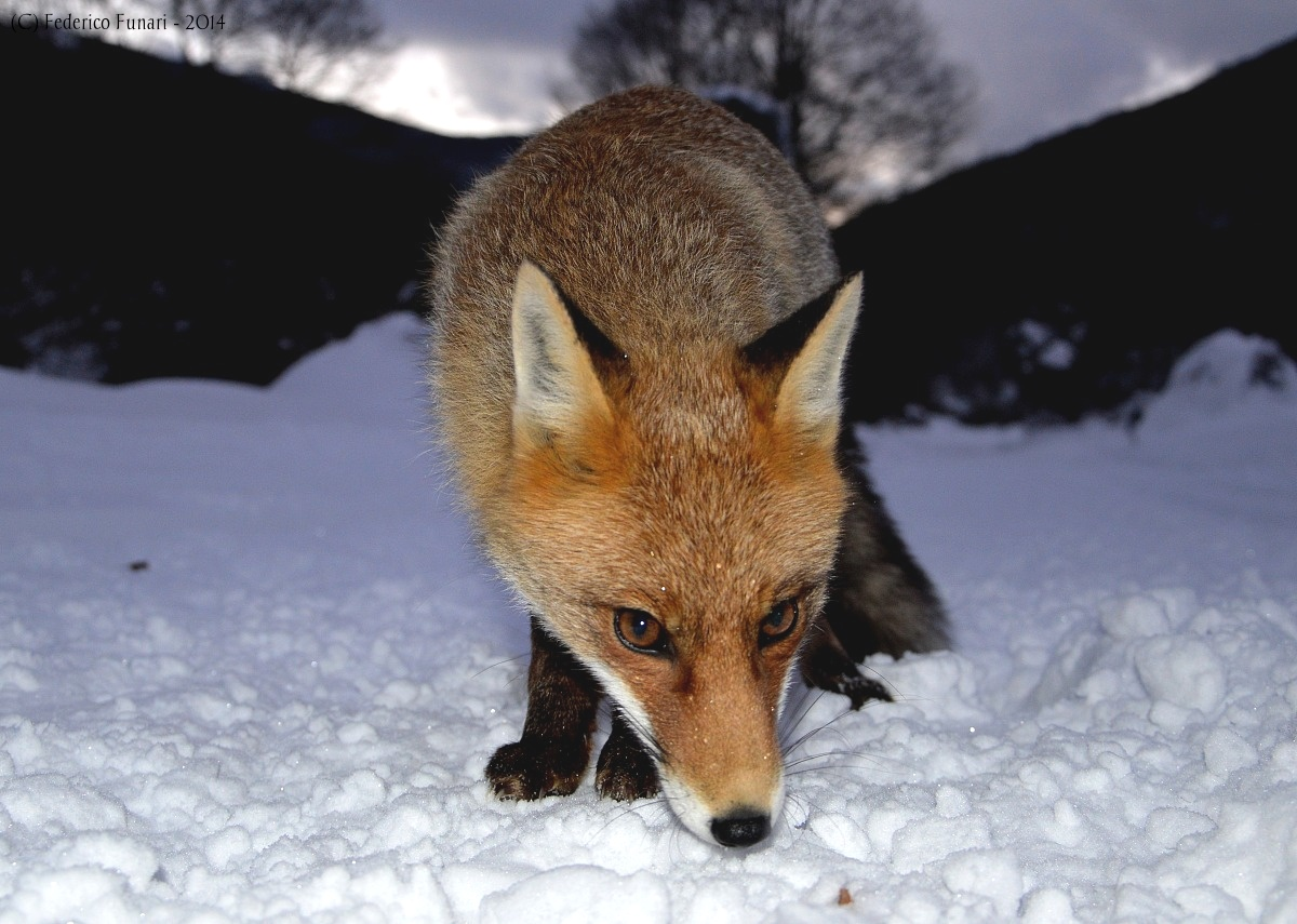 Fox in the snow...