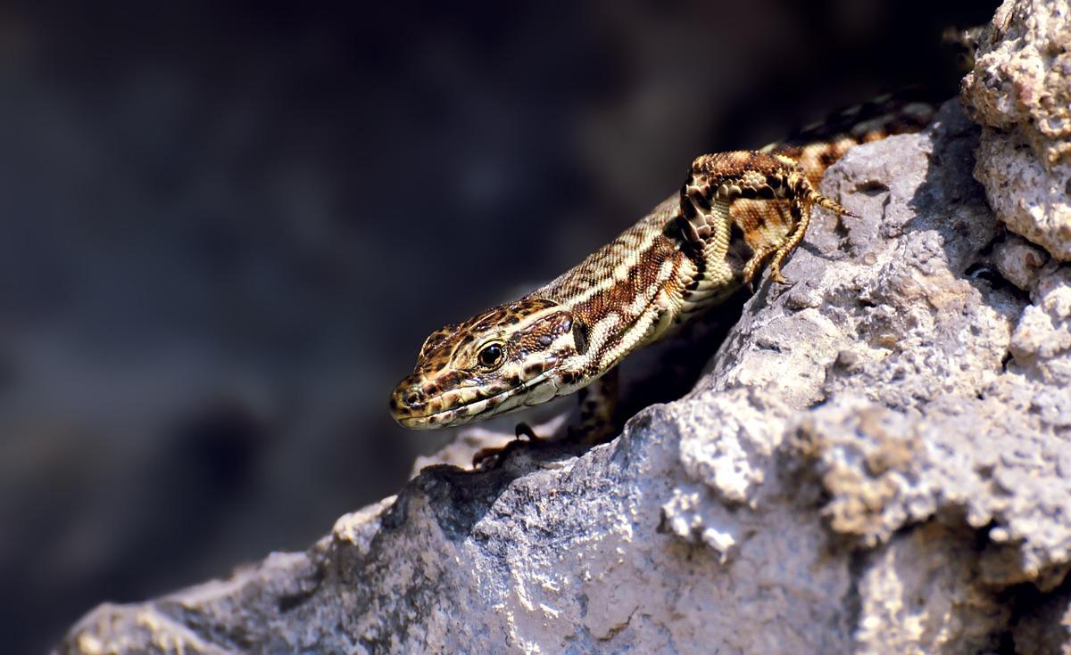 Common Wall Lizard...