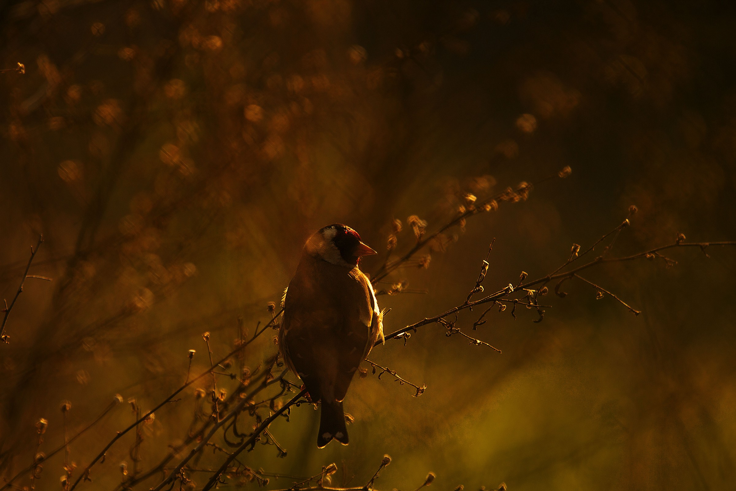 Goldfinch backlight...