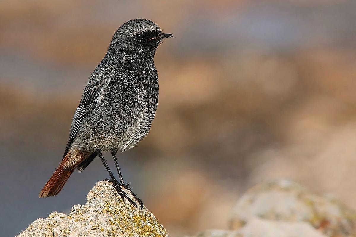 My first black redstart (male)...