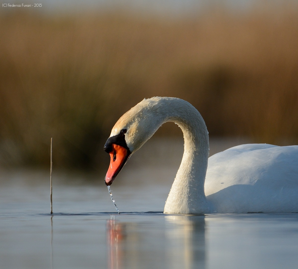 Swan on the water...