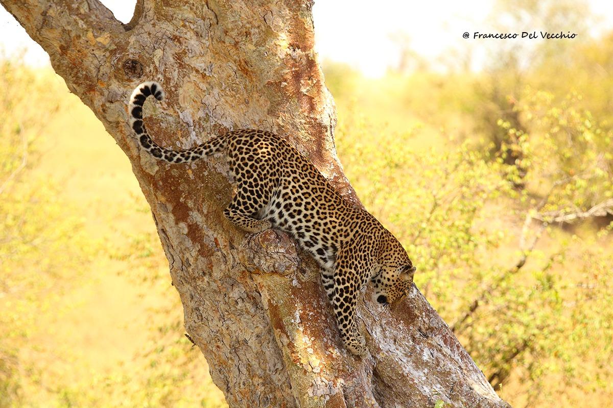 Leopardess in Rongai area...