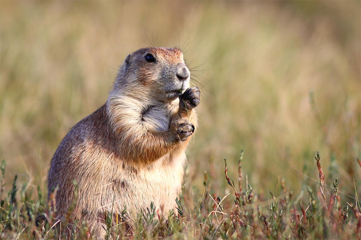 Prairie Dog...