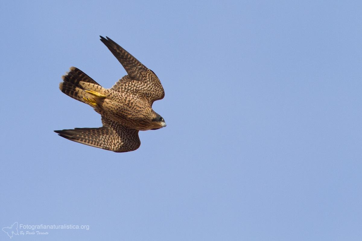 Falco pellegrino (Falco peregrinus...