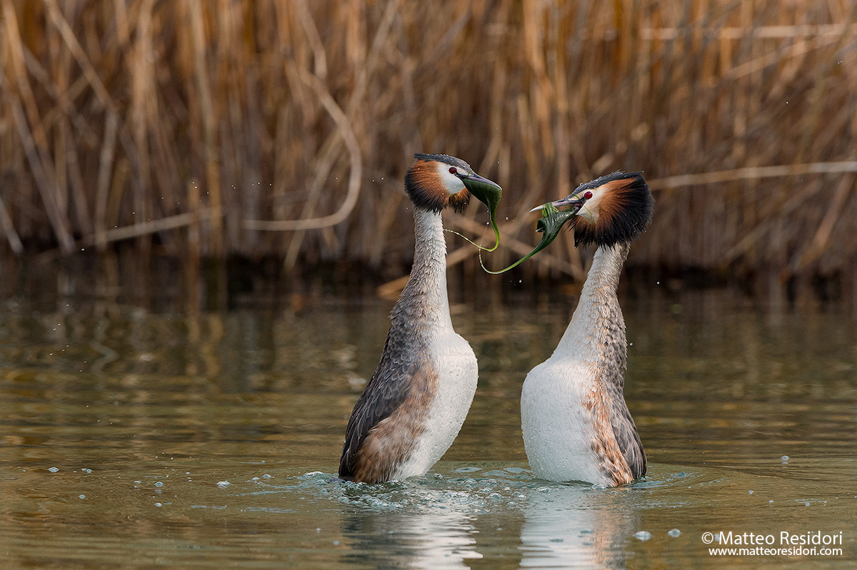 Great Crested Grebe - Dancing Penguin...