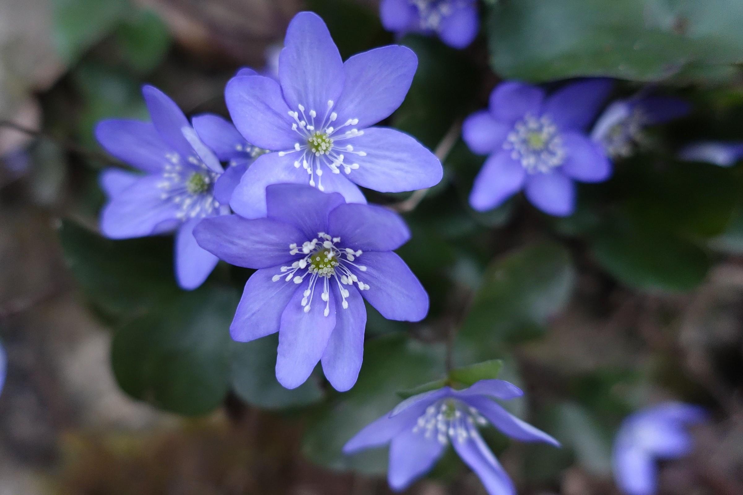 fiori di anemone epatica...