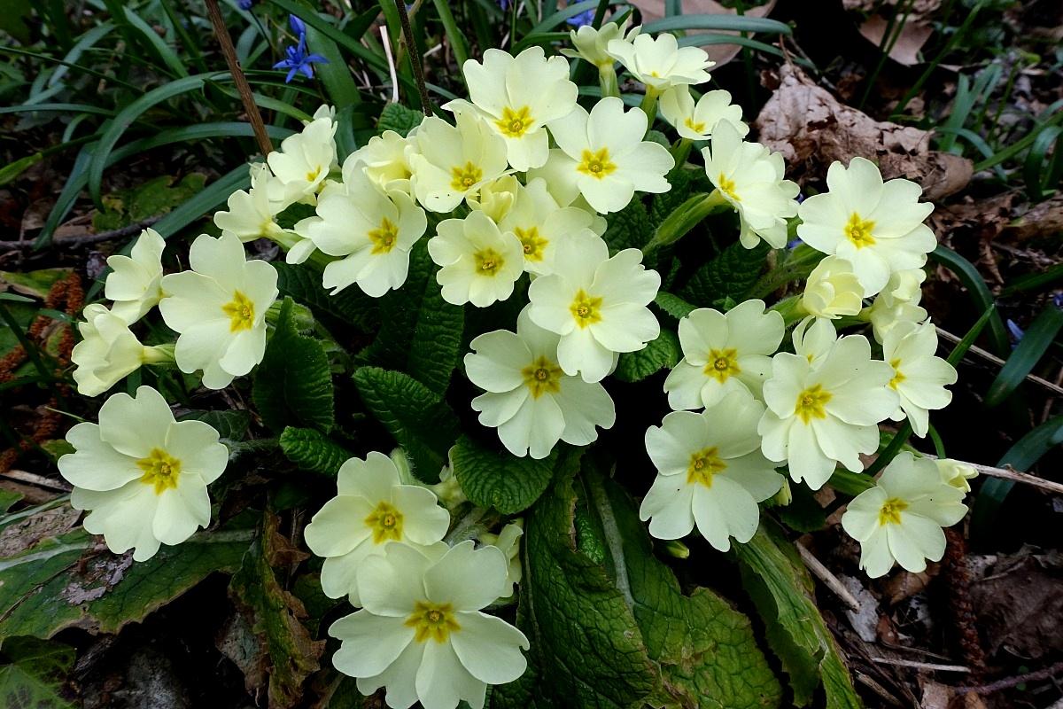 Primule selvatiche juzaphoto for Primule immagini