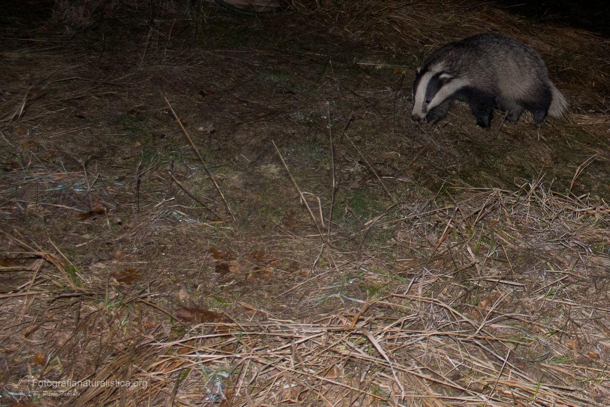 Tasso (Meles meles) - Eurasian Badger...