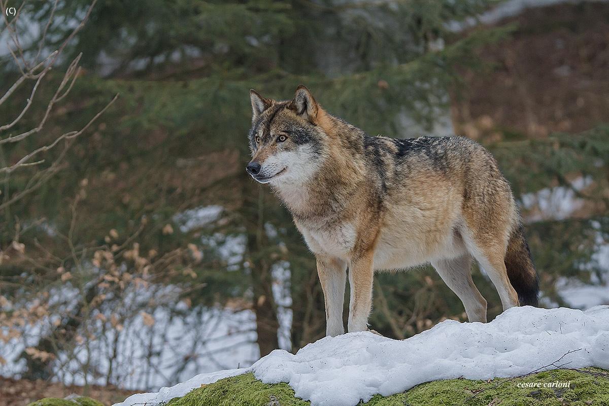 wolf Bayerischer wald...