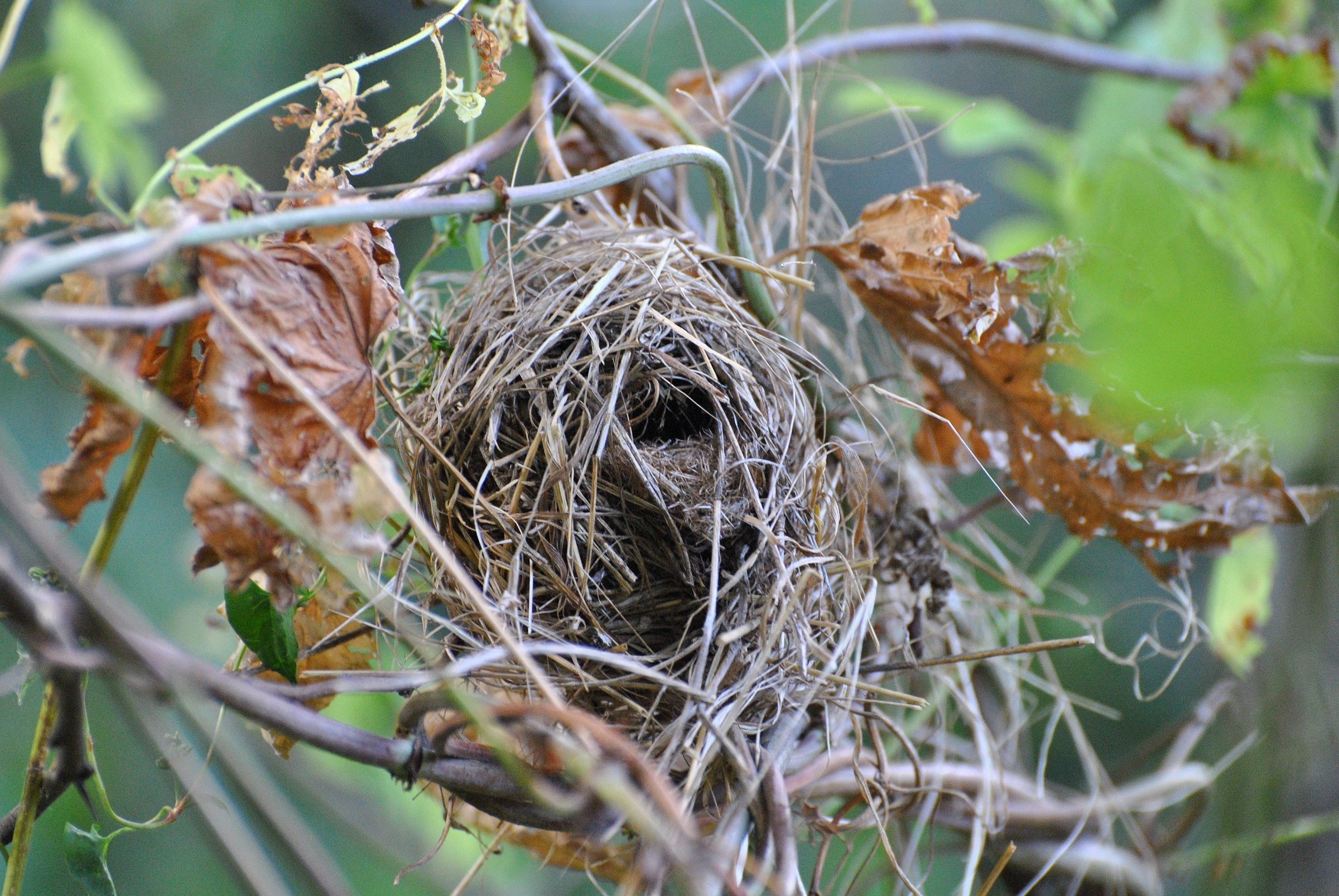 dormouse nest...