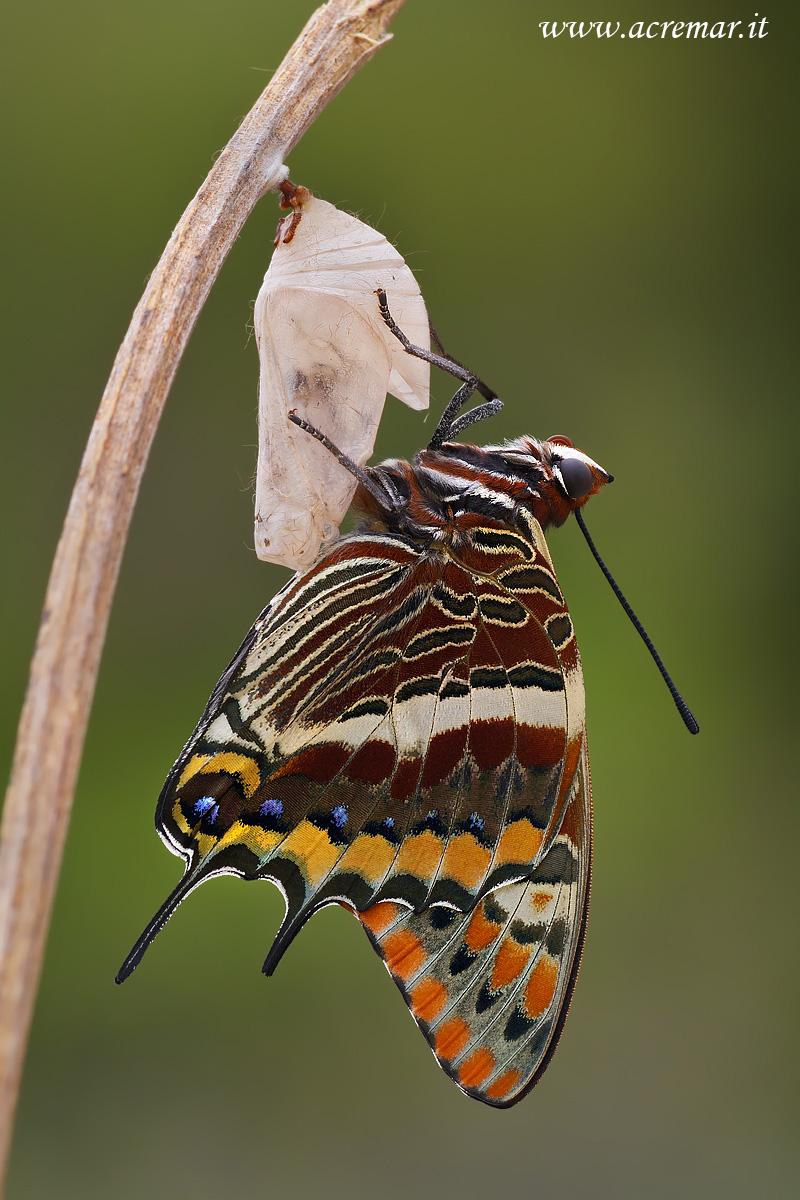 #Lepidoptera #Nymphalidae Charaxes Jasius...