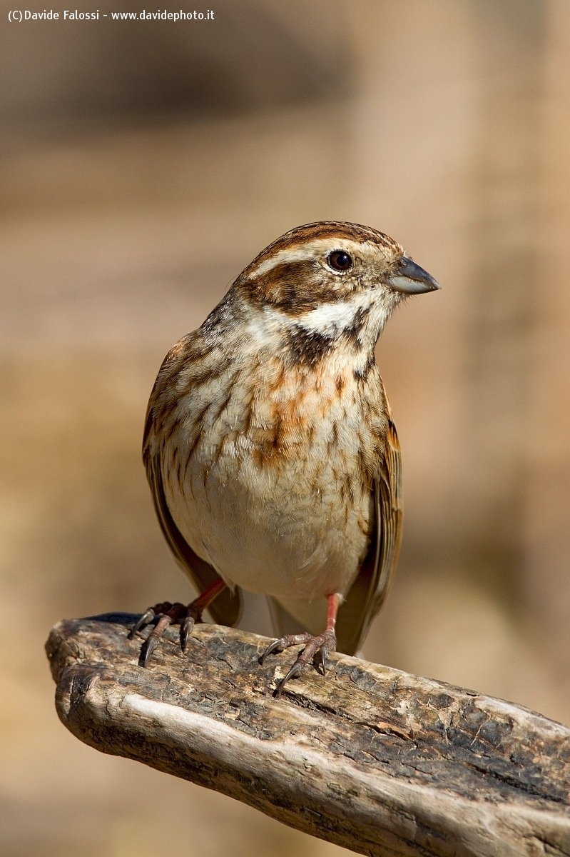 Portrait of female Reed Bunting...