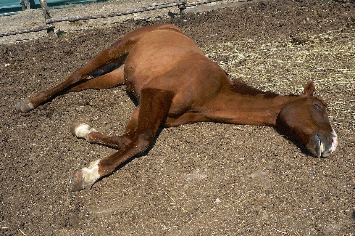 Cavallo Che Dorme Al Sole Juzaphoto