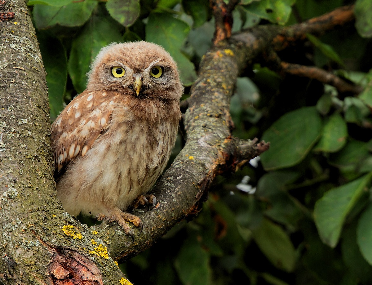 young owl...