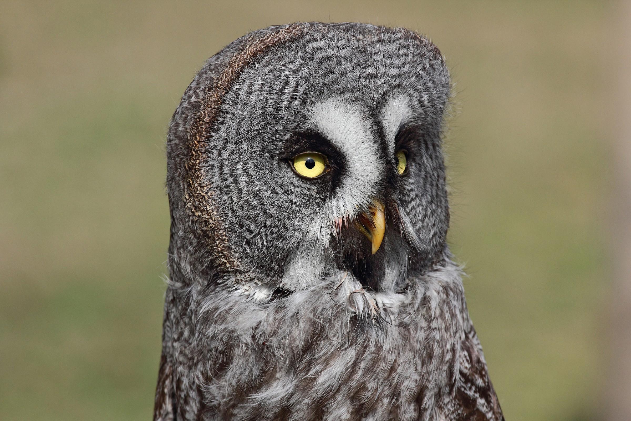 Owl of Lapland...