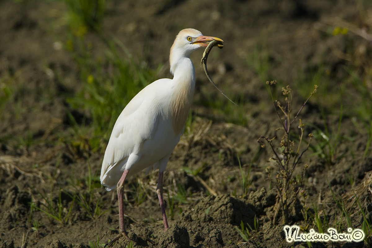 Cattle Egret and lizard...
