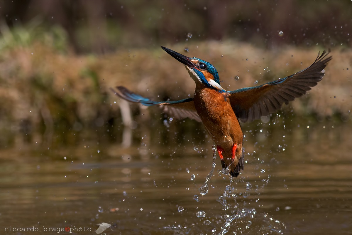 Kingfisher Alcedo atthis-...