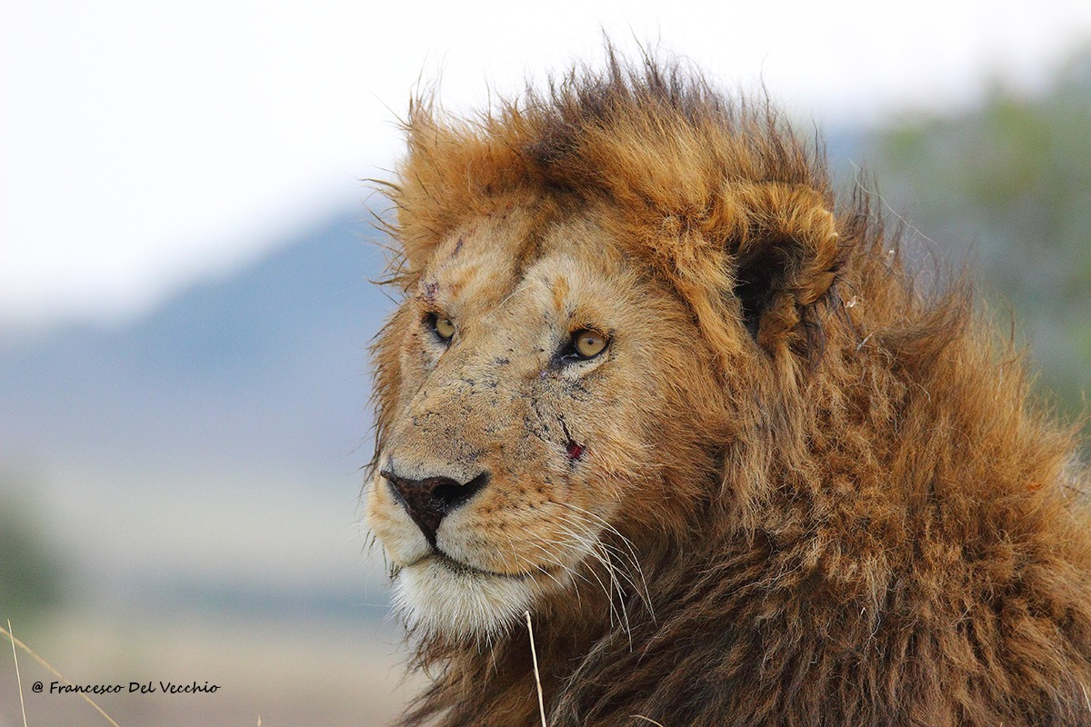 Siki�, dominant male lion Marsh Pride...
