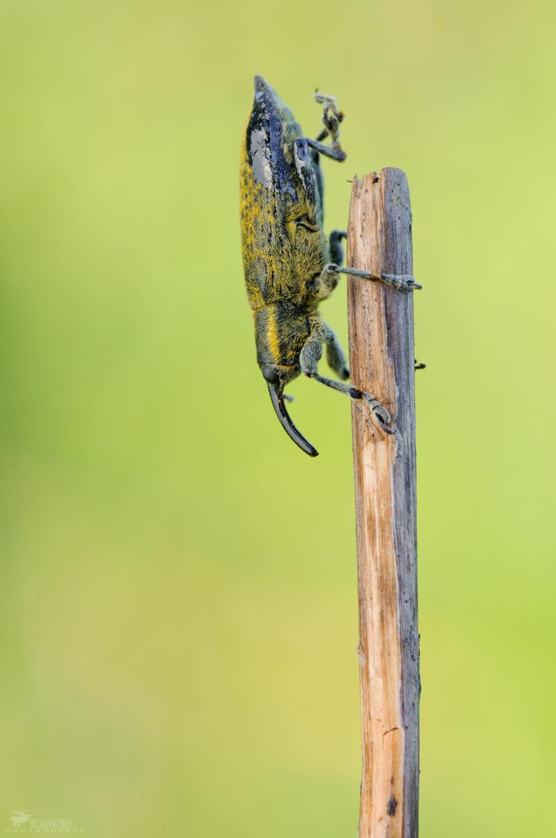 Weevil...