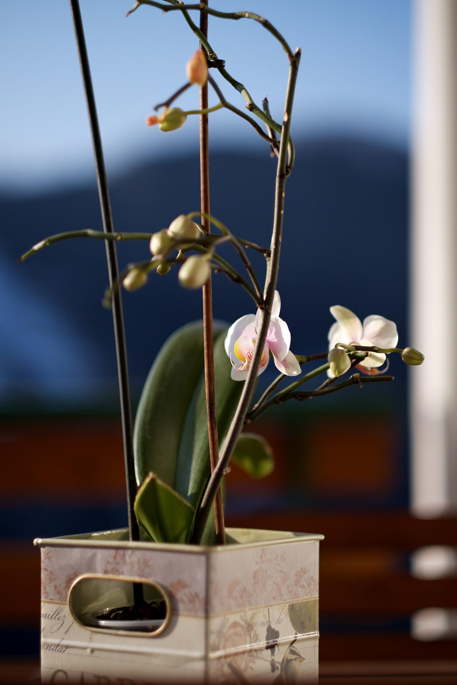 Orchidea 1...