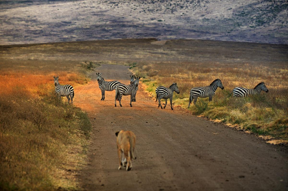 Traffico a Ngorongoro...