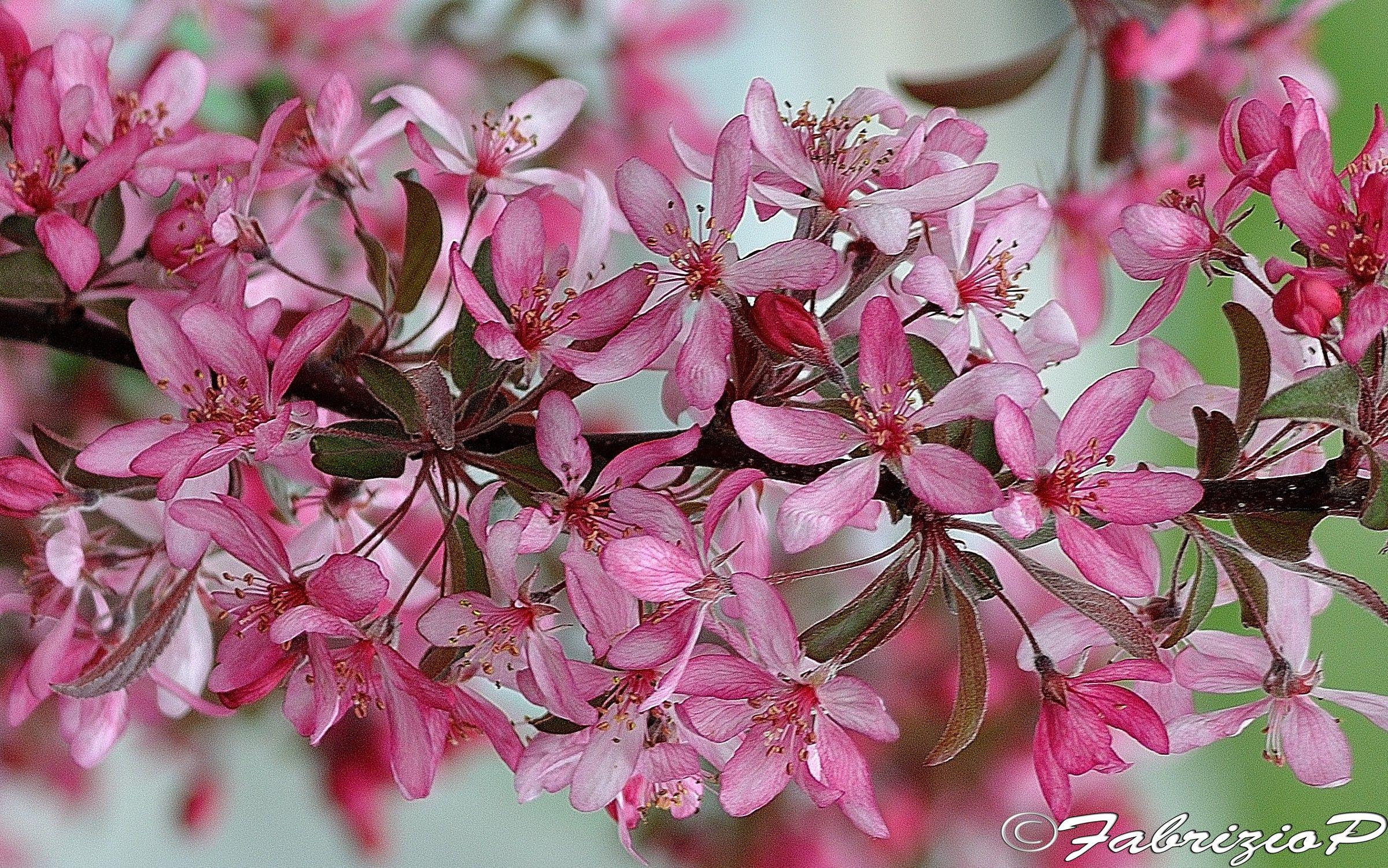 Flowers of apple tree...