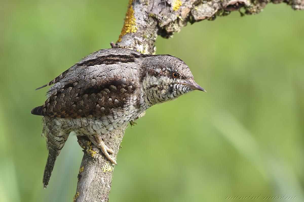torticollis (Eurasian wryneck)...