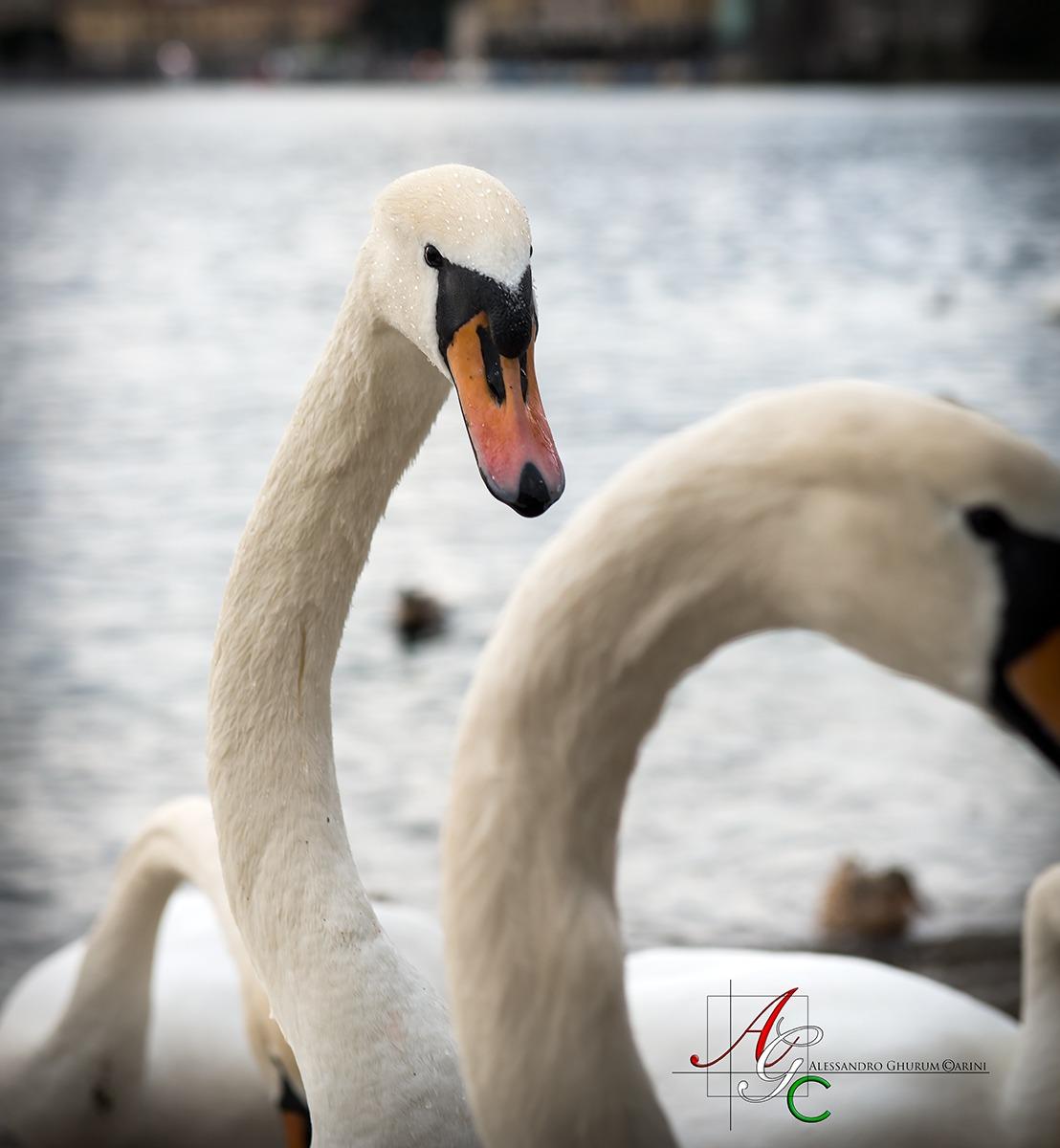 Swan...