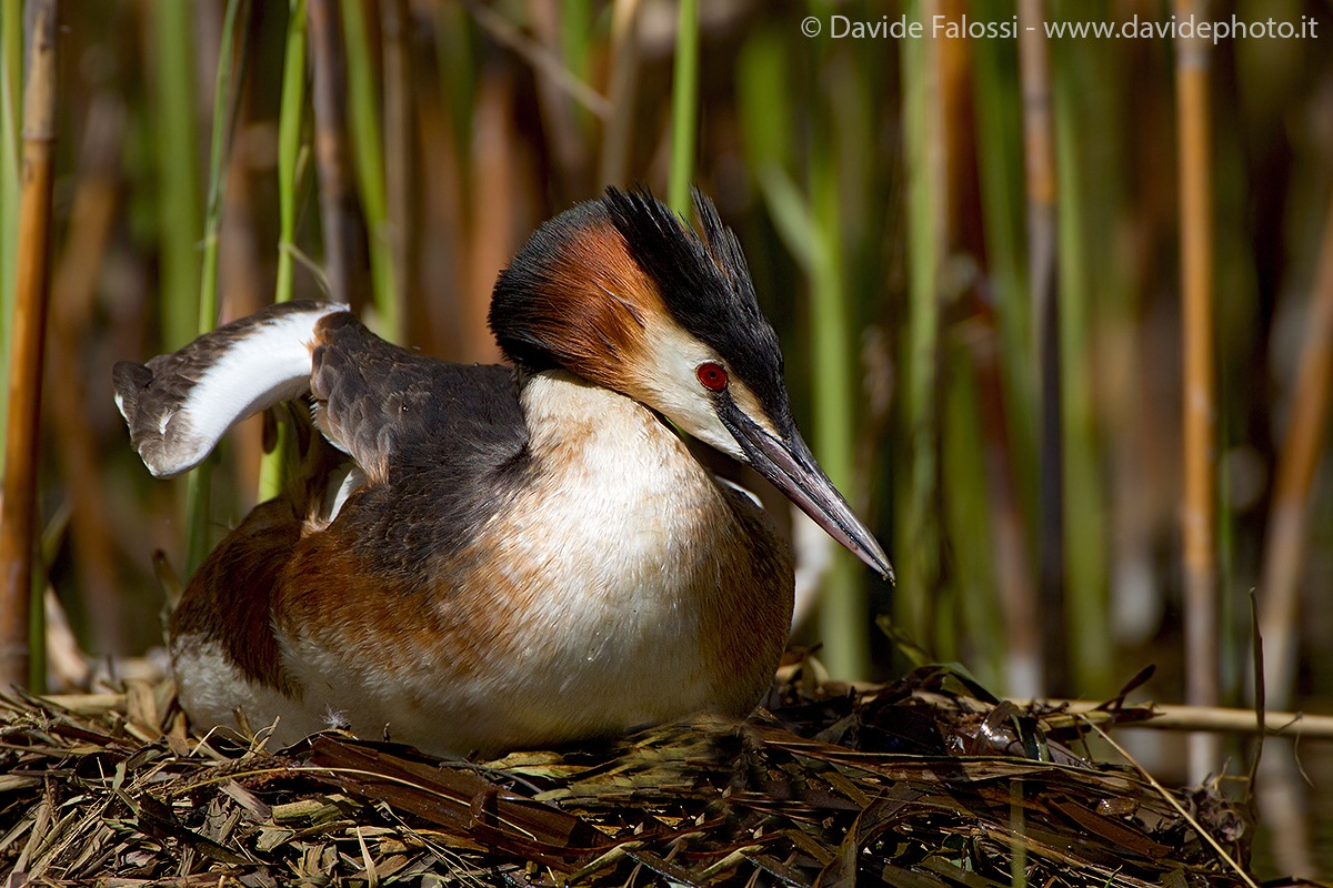 Grebe in hatching...