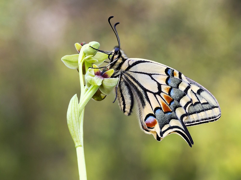 Machaon on orchid...