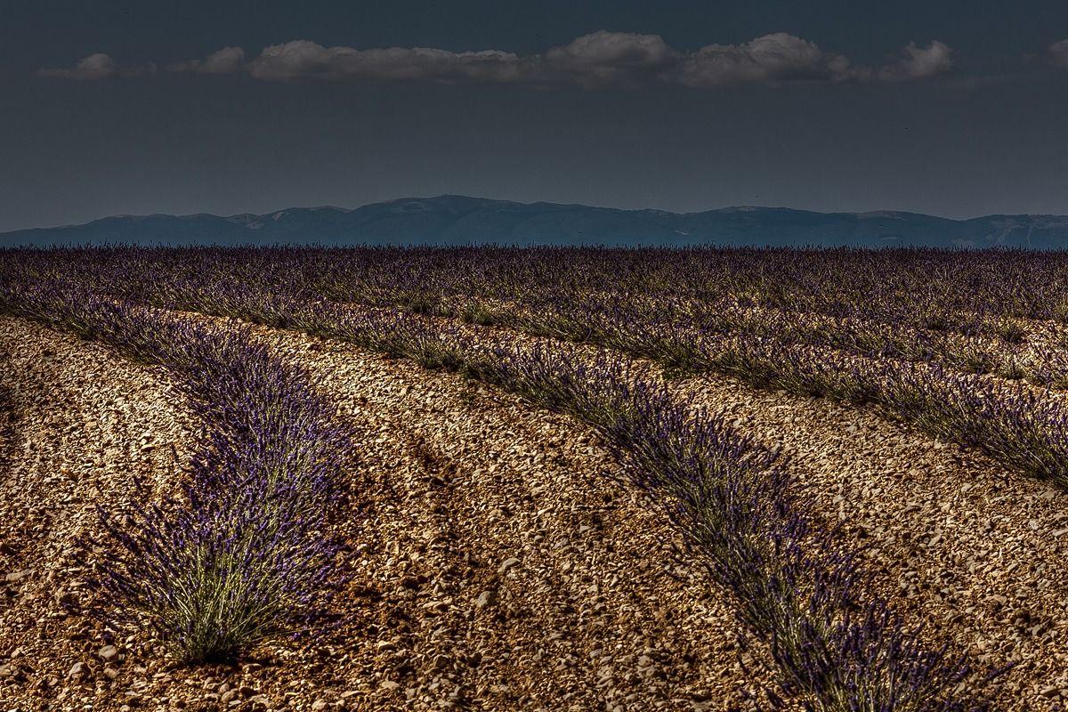 Field Lavanda- Valensole...