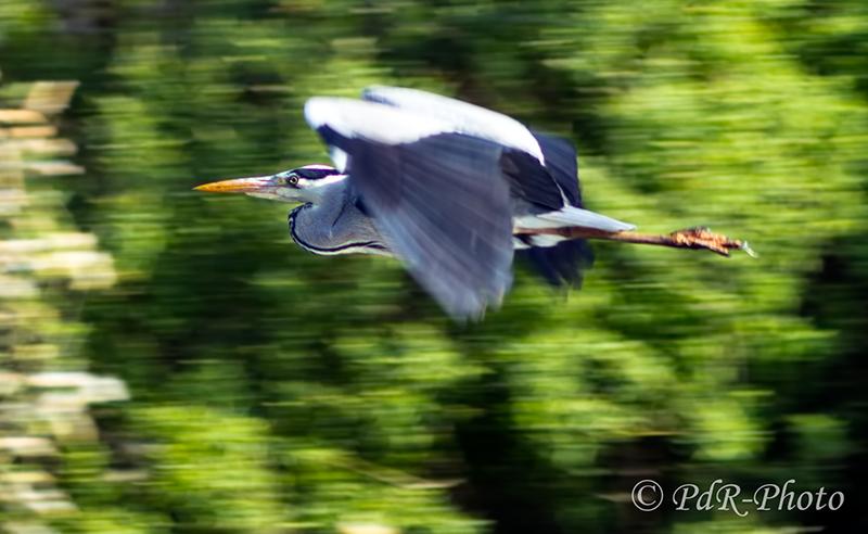 Grey Heron Panning...