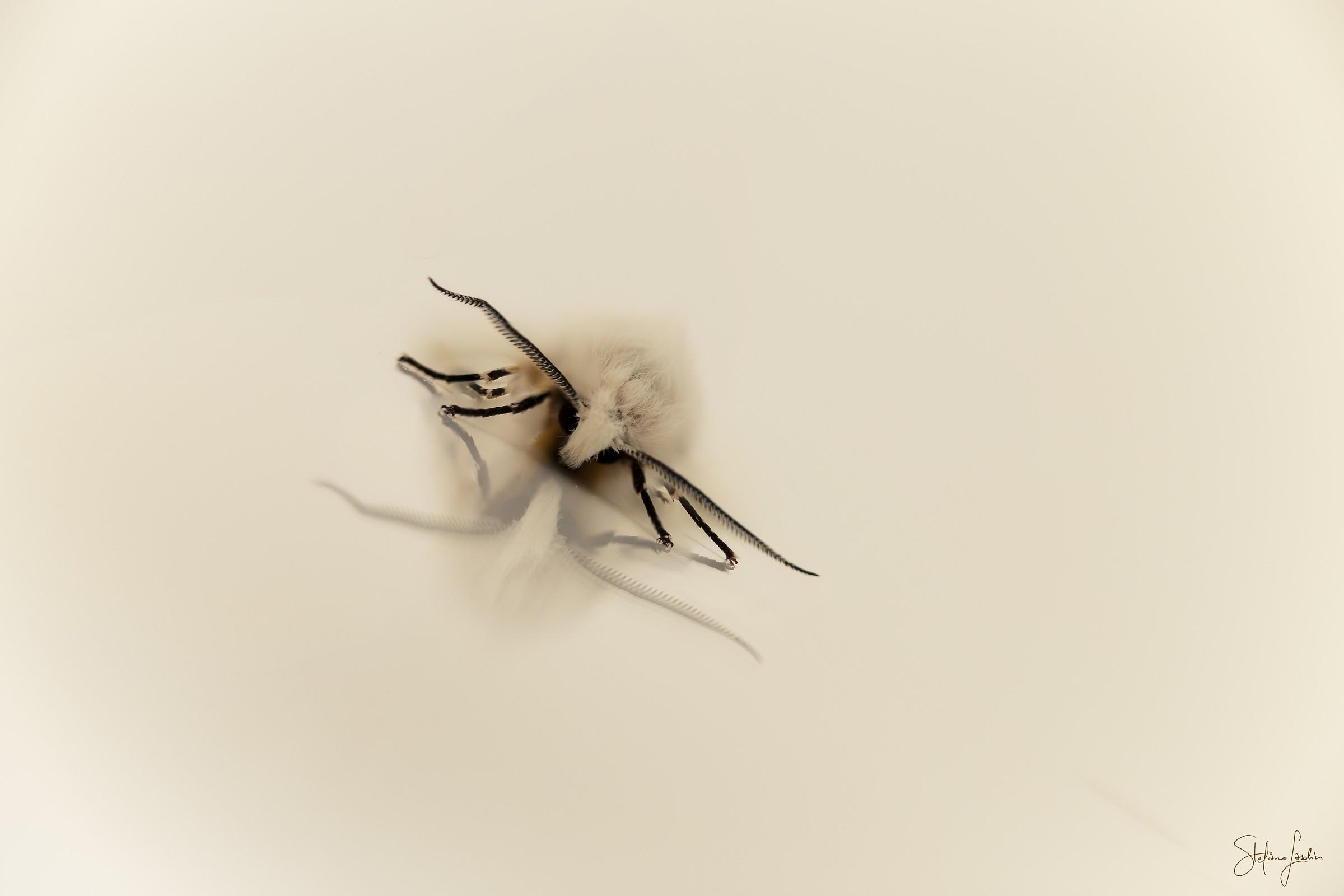 White moth...
