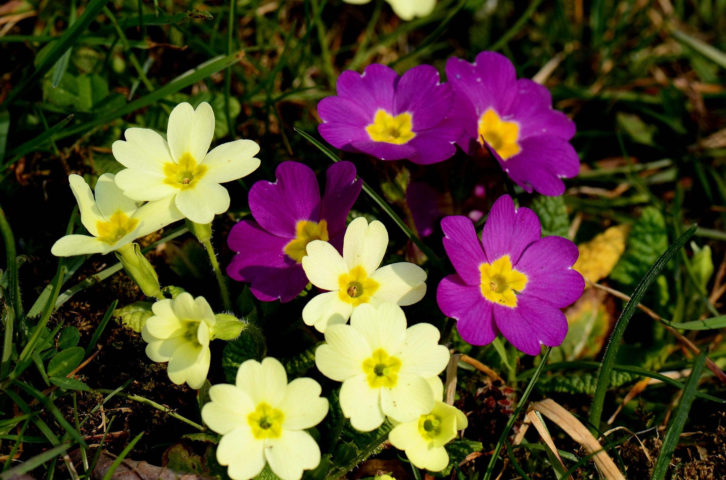 primroses bicolor...