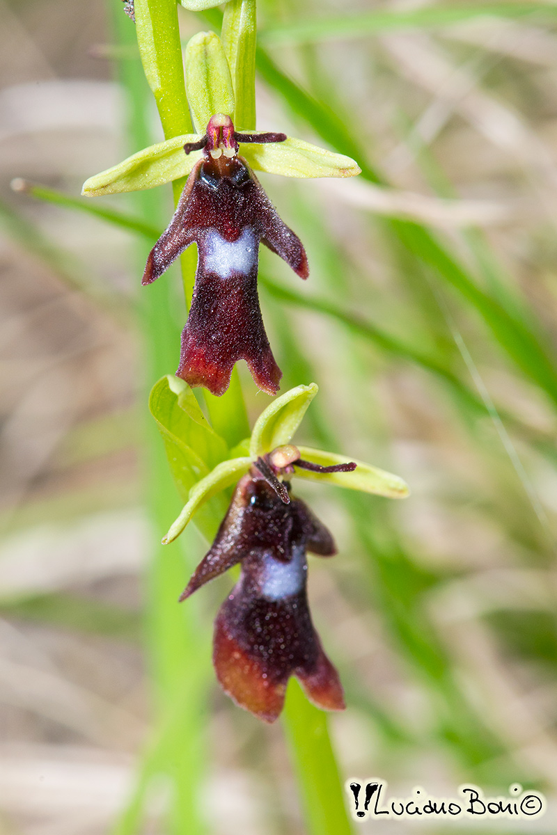 Ophrys insectifera...