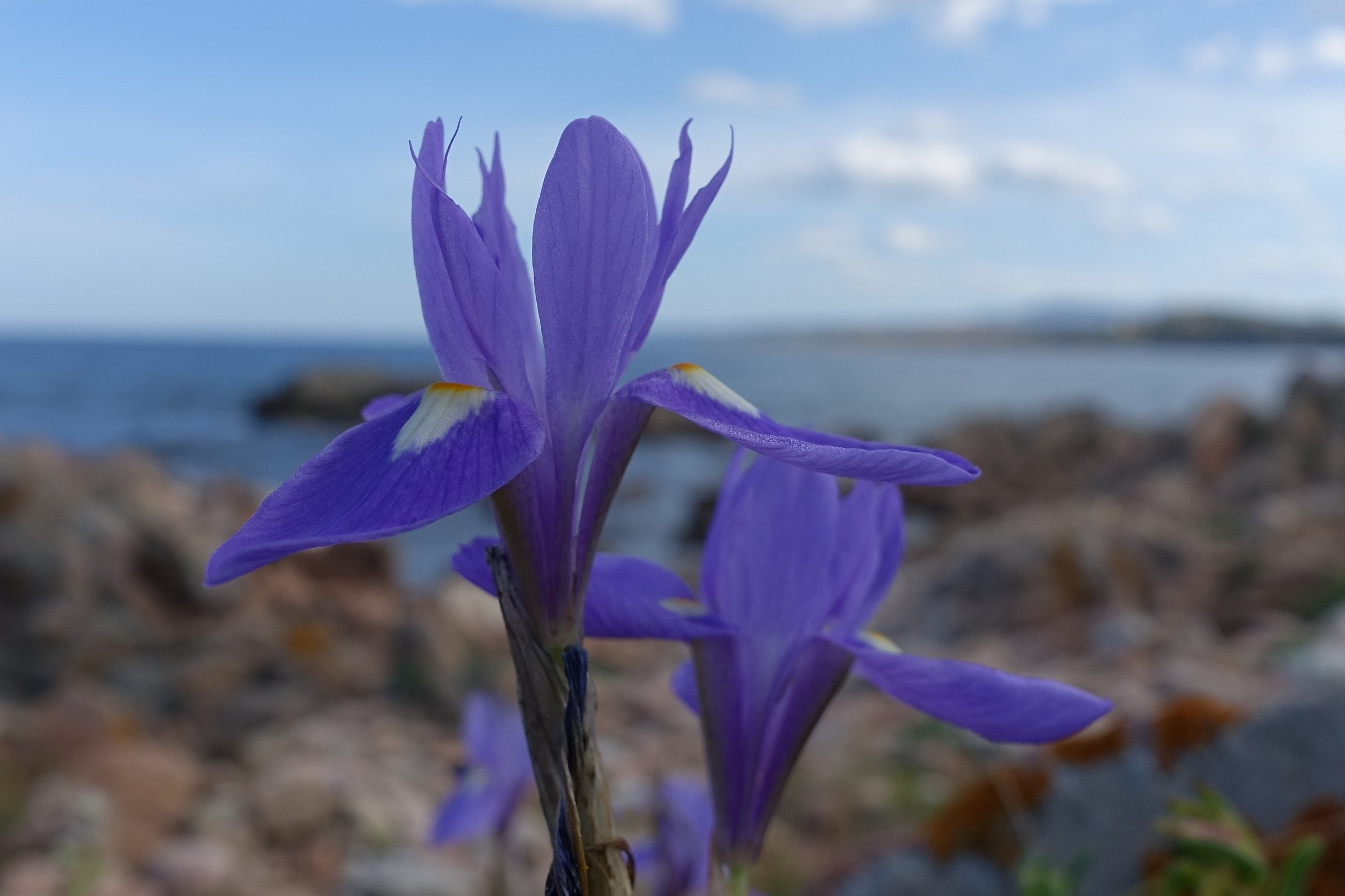 Iris selvatico di profilo...