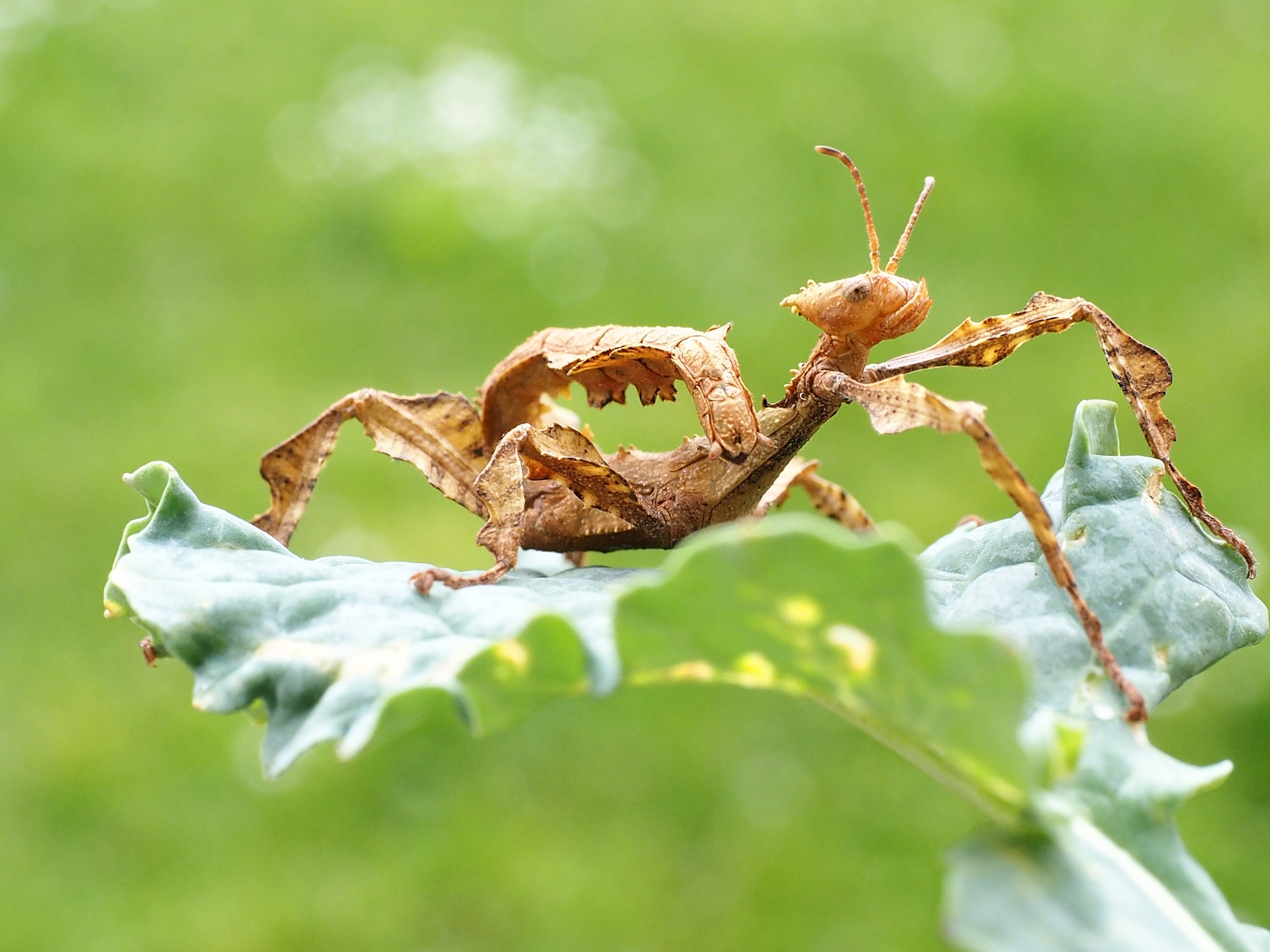 dry leaf insect...