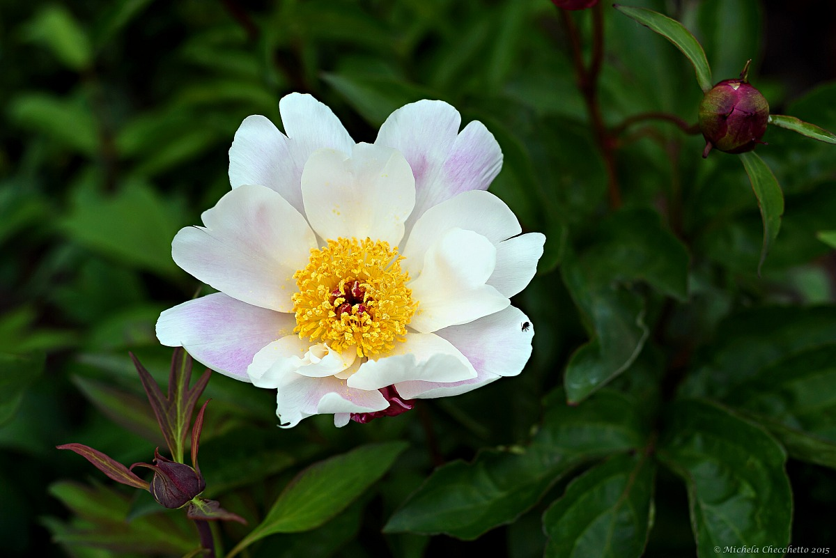 La rosa senza spine...